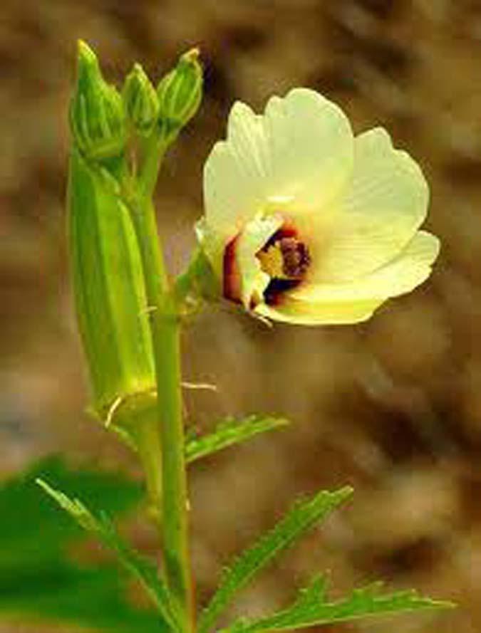 Amasya Çiçek Bamyası Hasatlar Başladı