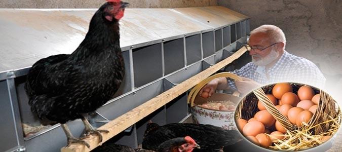Yediği Yumurtaları Beğenmeyip Tavuk Çiftliği Kurdu